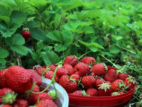 Собранная ягода клубники