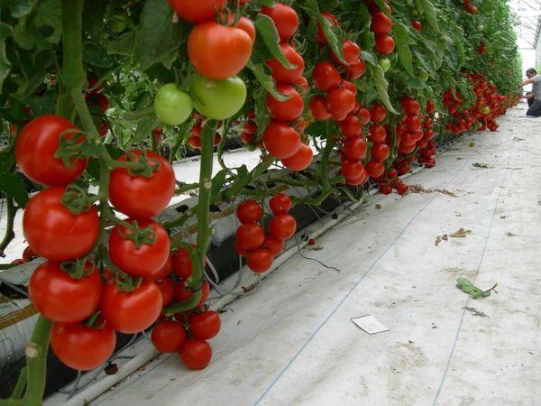 Большой урожай - мечта каждого огородника