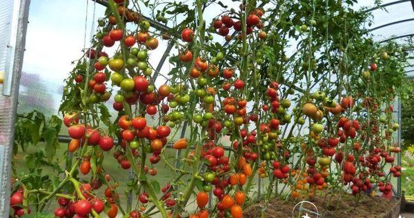 Высокорослые помидоры подвешивают на крючки