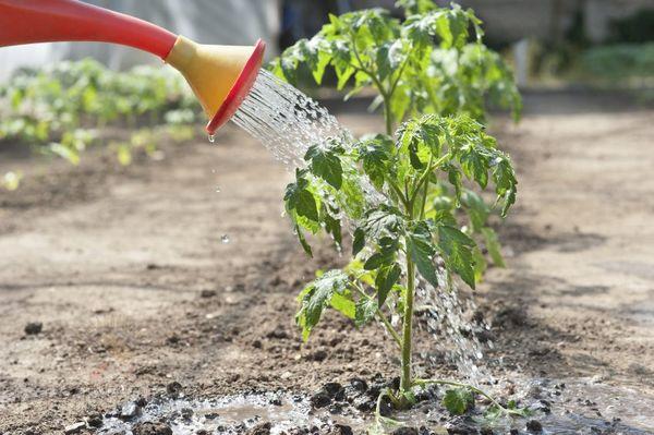 После укрепления корней под каждый кустик выливают до 2 литров воды