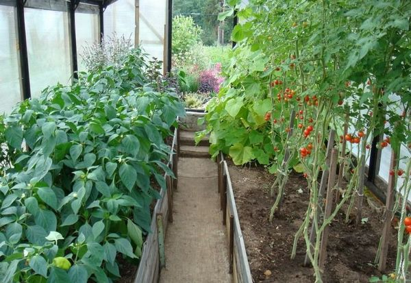 Помидор можно выращивать с перцем в одной теплице