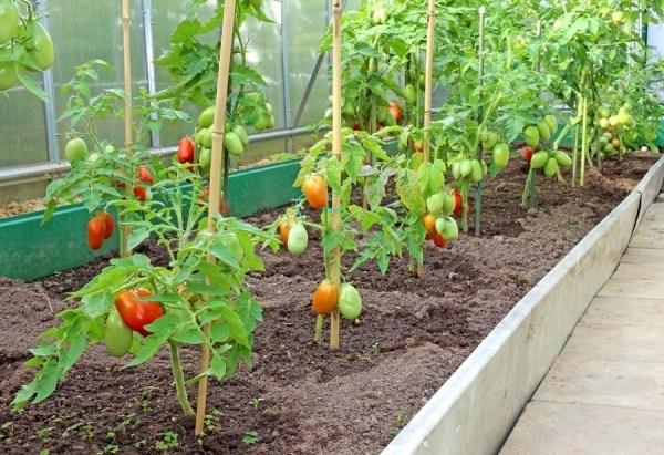 При высадке помидор с другими овощами, необходимо установить перегородку в теплице