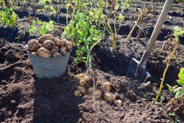 Чтобы получить не один, а два урожая картофеля, необходимо собрать первый, ранний урожай в пасмурную погоду, обобрать клубни, а затем высадить картофельный куст вторично, обильно пролив лунку водой