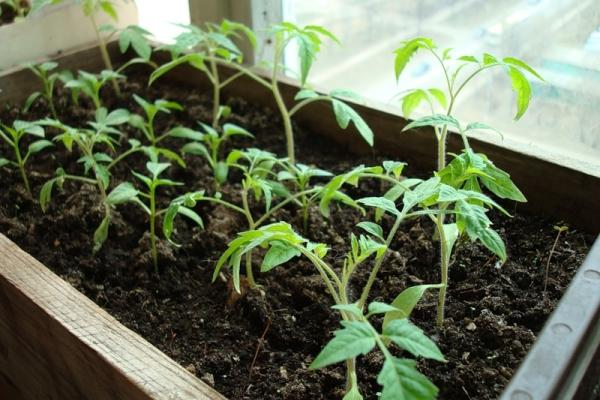 Высаживать рассаду для выращивания томатов можно в открытый и закрытый грунт