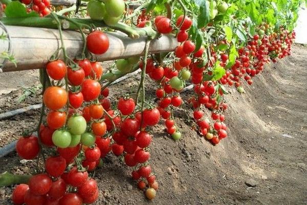 Родина томатов - Южная Америка, общеизвестной культурой они стали только в ХIХ веке