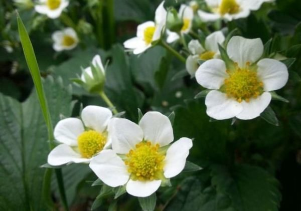 Цветение клубники Кама начинается очень рано