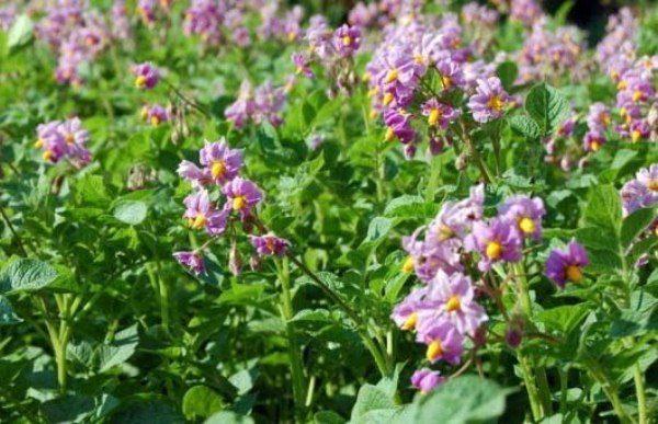 Цветут картофельные кусты сорта Аврора недолго, но очень красиво