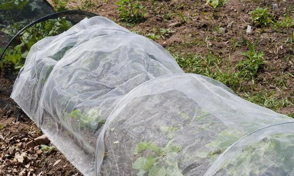 На зиму клубнику Тоскана следует укрыть, так как сорт не выдерживает мороз более 10 градусов