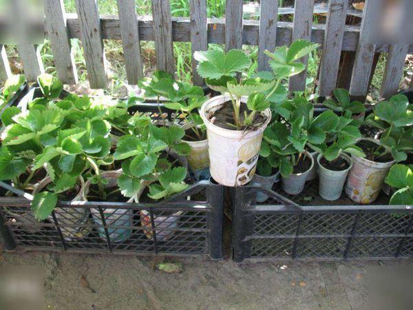 Готовую рассаду выкапывают при необходимости вместе с земляным комом и помещают в стаканчики