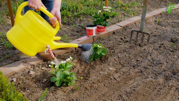 Поливать землю необходимо и до посадки клубники и после