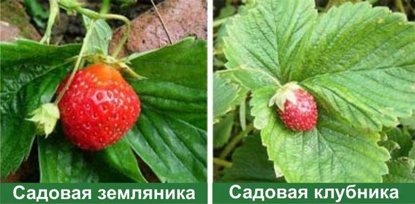 Отличие в размерах ягод