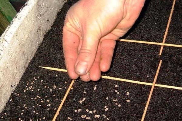 Высевать семена, когда почва прогреется, присыпать перегноем