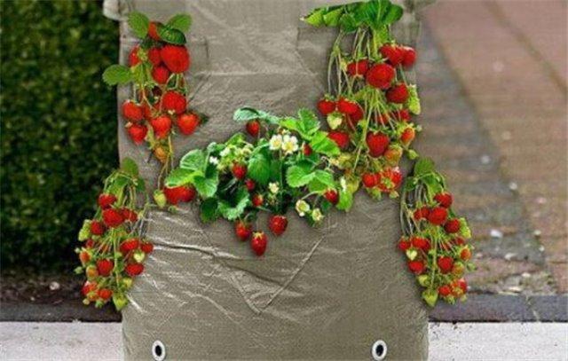 Выращивание клубники в бочке отзывы 98