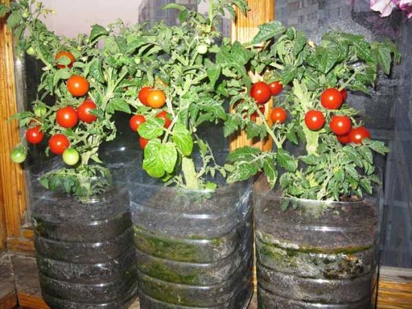 Способ выращивания томатов в пластиковых бутылках придуман в Японии