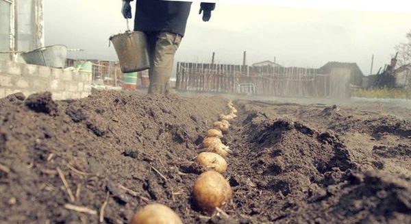 Как сажать и как за ним ухаживать картофель