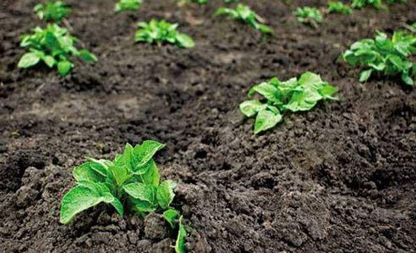 Полив необходим после появления полноценных ростков