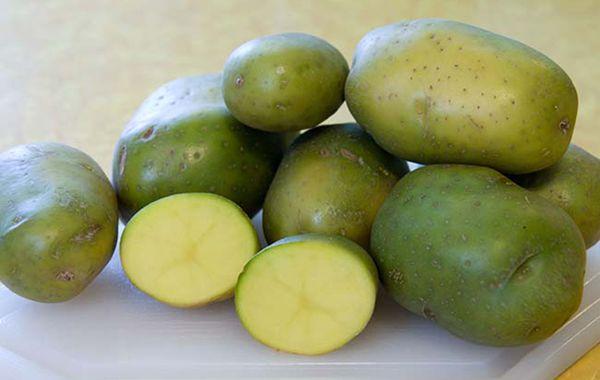 От чего зеленеет картофель