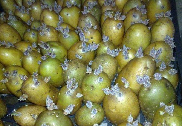 Зеленую картошку проращивают и используют для посадки