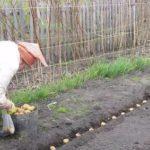 земля картошка