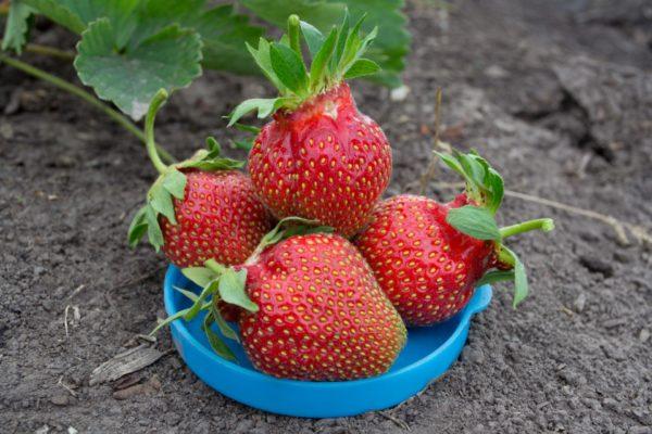 Крупные ягоды царицы
