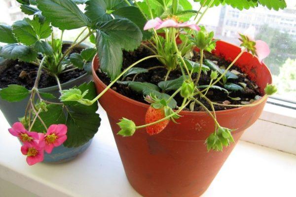 Клубника на балконе: можно ли и как вырастить, советы по уходу