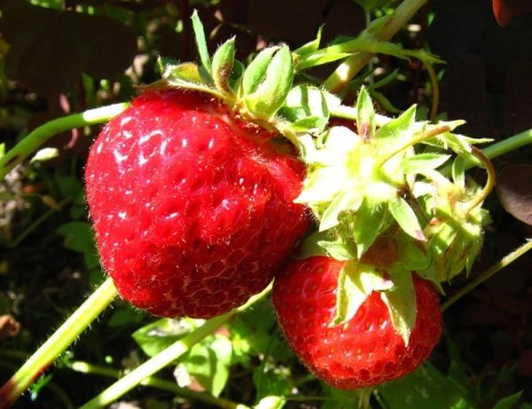 Клубника Зенга Зенгана - сладкая ягода без кислинки