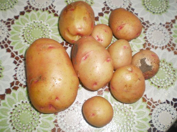 Картофель сорта Жуковский
