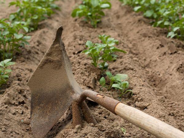 Для поступления достаточного количества кислорода картофелю необходима прополка и рыхление