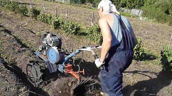 Сорт Жуковский можно выкапывать автоматическим инструментом