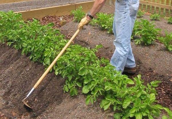 При выращивании журавинки необходимо проводить окучивание