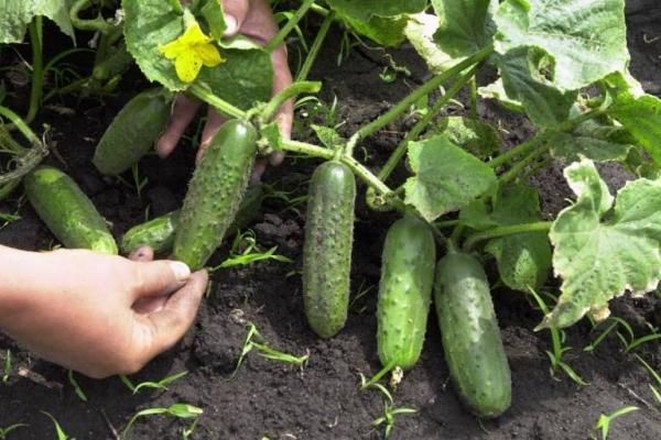 Плоды собирают через каждые пару дней, лучше всего в утренние или вечерние часы