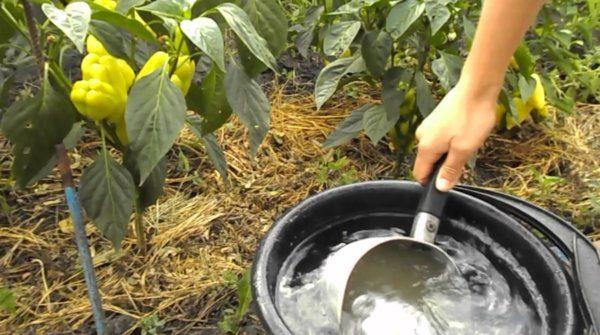 Перцы всегда благодарно отзываются на внесение удобрений, будь то органика или минеральные добавки