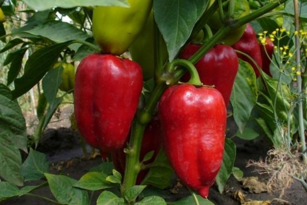 Айвенго имеет превосходный товарный вид и отличается высокой урожайностью