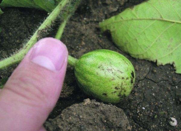 Маленький плод арбуза