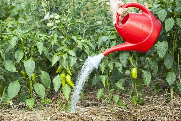 Перец любит влагу и нуждается в регулярном прикорневом поливе