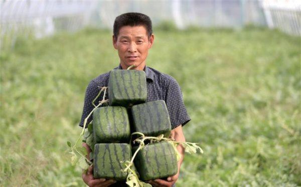 Сбор урожая квадратных арбузов