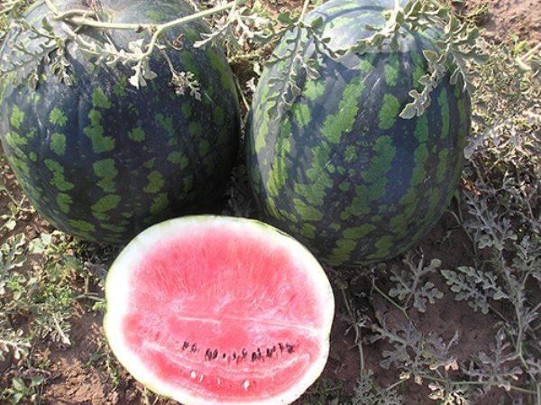 В основном урожайность такого сорта составляет около 30-35 тонн с одного гектара