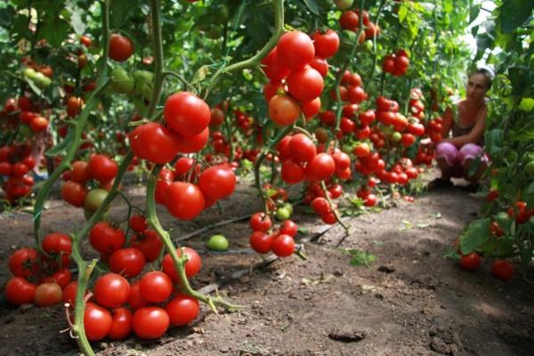 Это идеальный сорт для огородника, так как при минимуме затрат получается большой урожай
