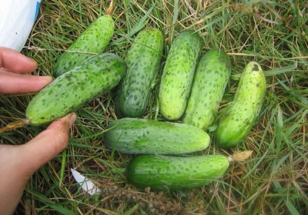 Достоинства сорта: высокая урожайность и отсутствие горечи, засухоустойчивость и неприхотливость в уходе