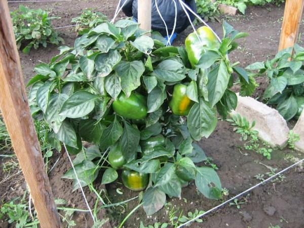 Условия для выращивания перца в открытом грунте 56