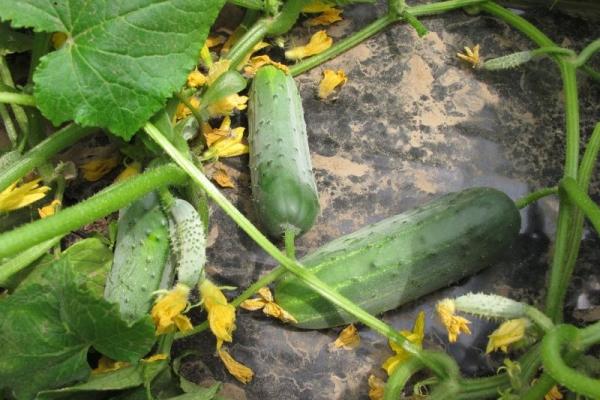 Огурец Гектор f1: описание сорта и метод выращивания