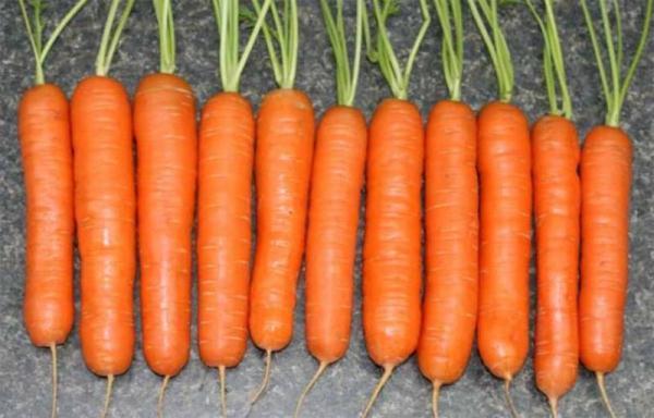 Сорт моркови Нантская красная