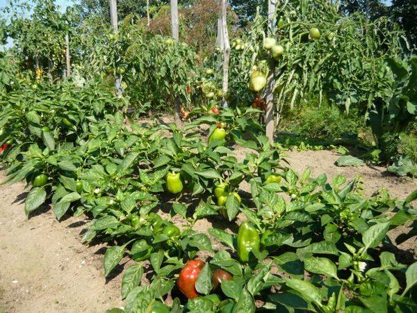 Выращивание сладкого перца в открытом грунте