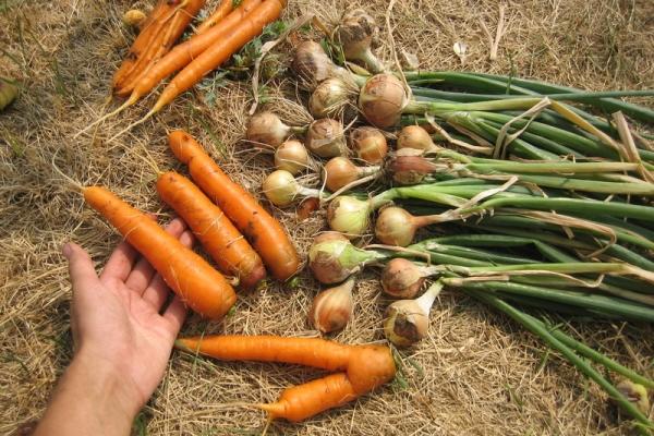 Луковицы собирают в июле, морковь в августе и сентябре