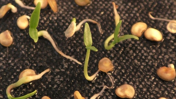Подготовка семян перца к посадке на рассаду 19