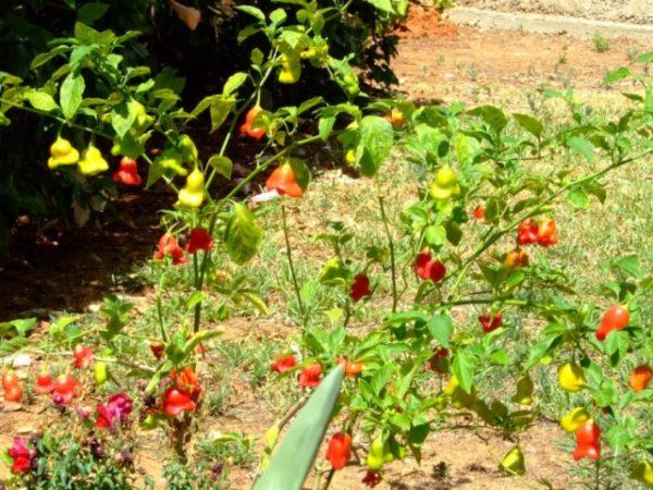 Перец колокольчик на садовом участке
