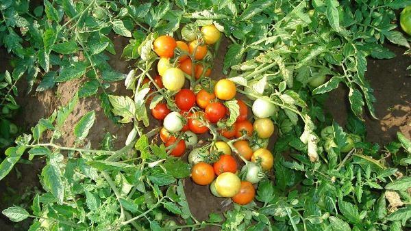 Куст томата Москвич с плодами на грядке