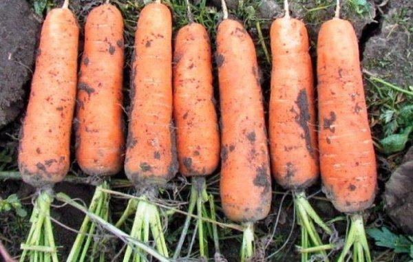 Вкус корнеплода этого сорта является эталонным вкусом моркови с упругой, сладкой мякотью