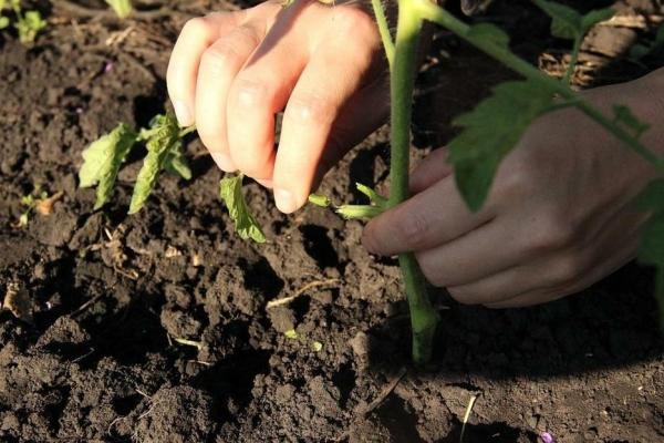 Томаты необходимо подвязывать, по мере созревания плодов обрывать листья