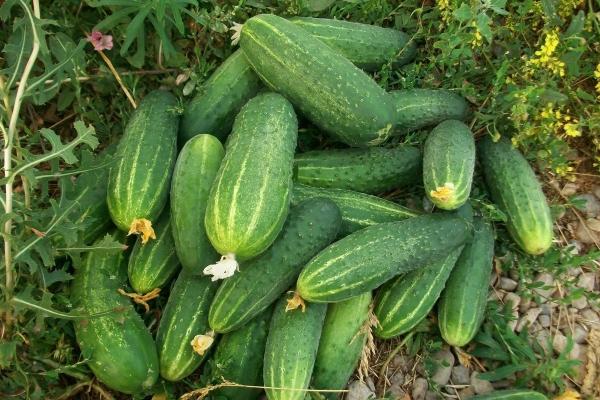 Достоинства сорта: высокая урожайность, длительное плодоношение и хранение, универсальность плодов